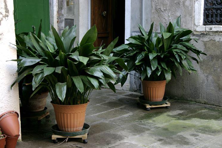 piante di aspidistra