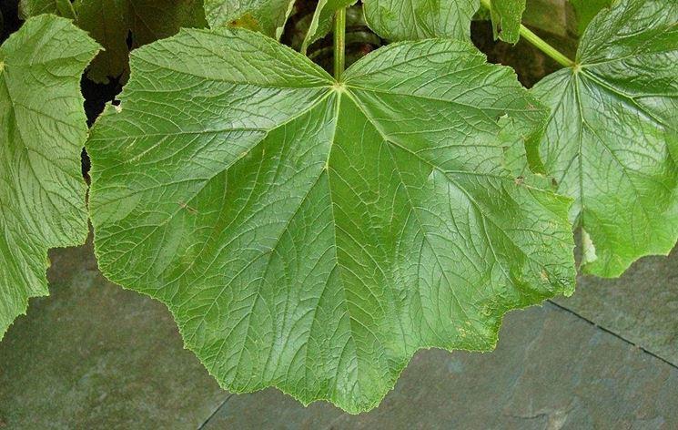 Una foglia di begonia