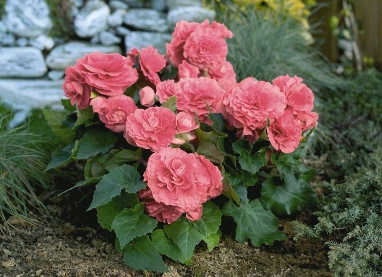 Begonia tuberosa rosa