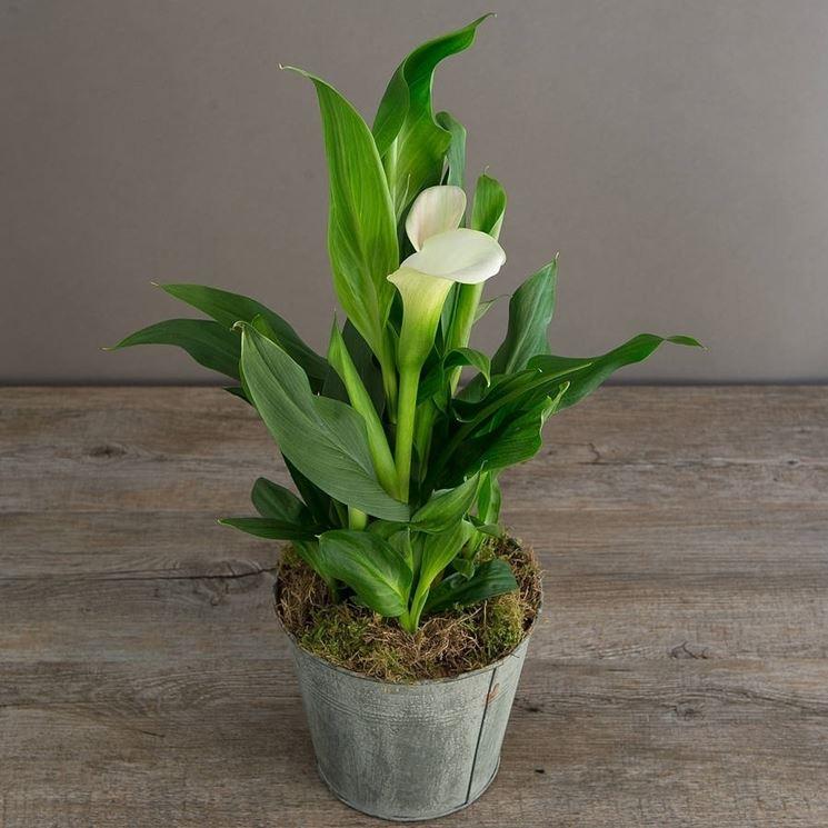 Calle da appartamento piante da interno calle coltivazione for Lilium in vaso