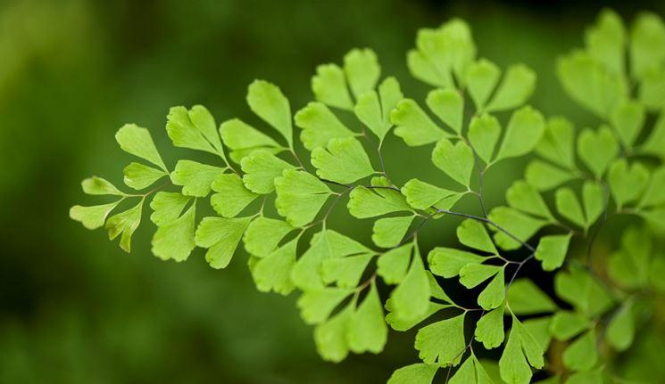 Capelvenere foglie