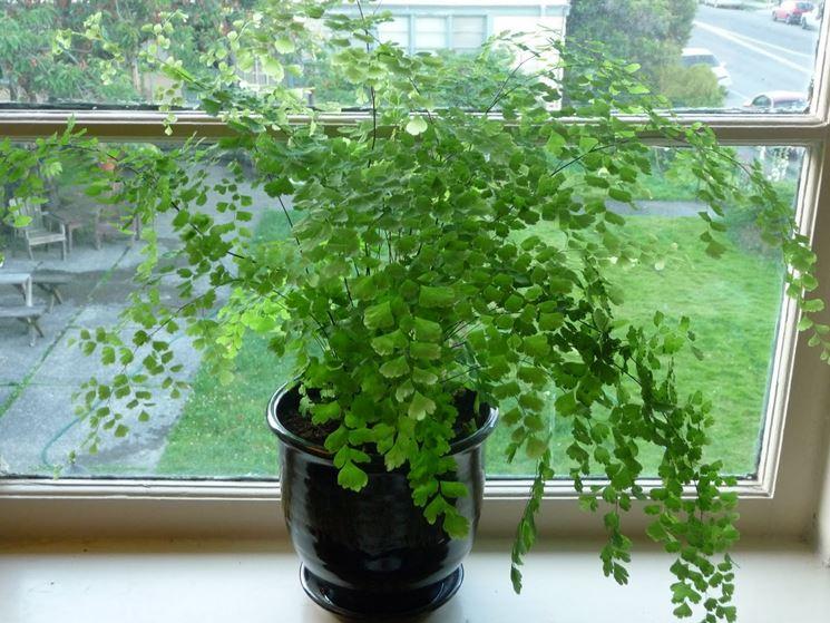 capelvenere piante da interno capelvenere pianta appartamento. Black Bedroom Furniture Sets. Home Design Ideas