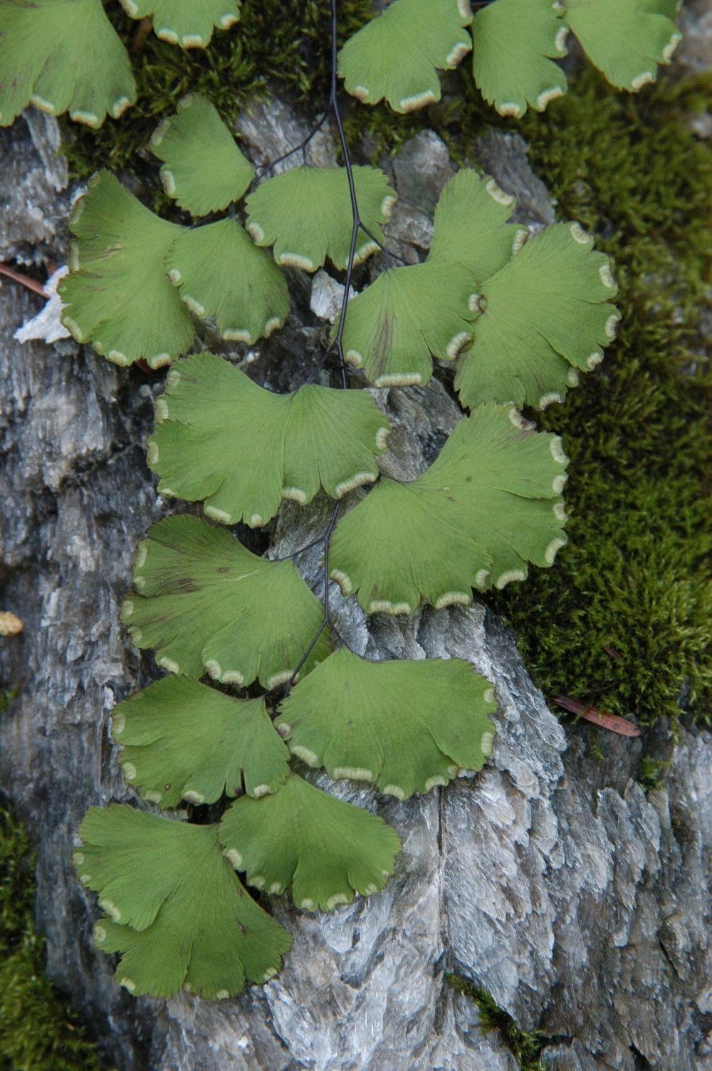 Capelvenere piante da interno capelvenere pianta for Piante da interno piccole