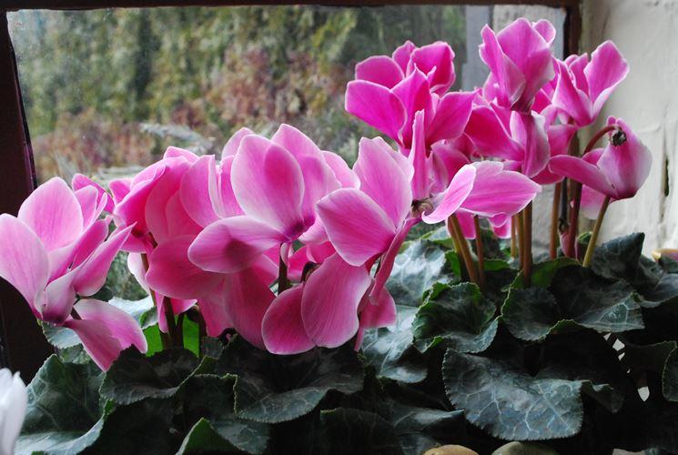 Varietà di ciclamino in vaso
