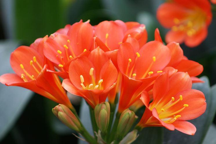 fiori clivia