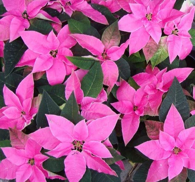 Varietà rosa della Stella di Natale