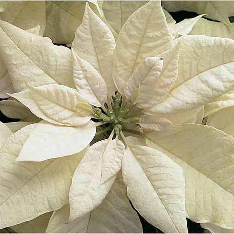 Stella Di Natale Cura E Manutenzione.Cura Stella Di Natale Piante Da Interno Come Prendersi Cura