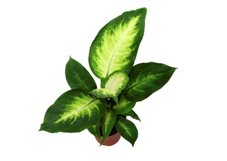 foglie dieffenbachia