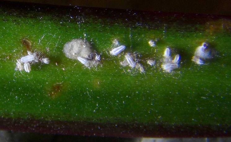 Cocciniglia su foglia di dracena marginata