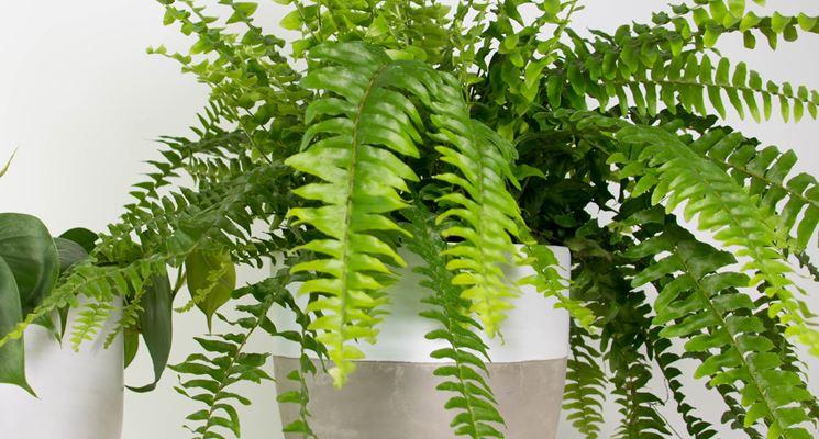 Felce piante da interno come curare la felce - La felce pianta ...