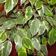 Ficus benjamin foglie