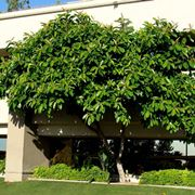 Ficus benjamina piante da interno ficus benjamina pianta for Ficus benjamin potatura