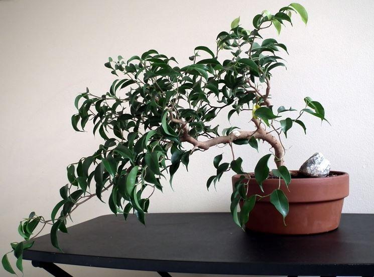 Ficus elastica piante da interno coltivazione variet fico for Pianta di fico prezzo