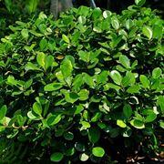 Ficus ginseng pianta