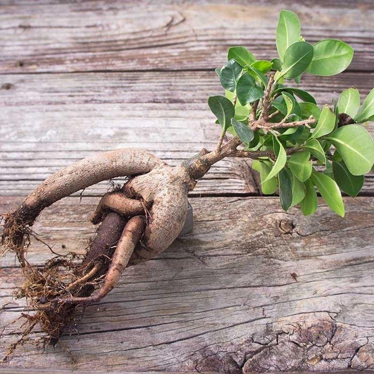 Ficus ginseng radici