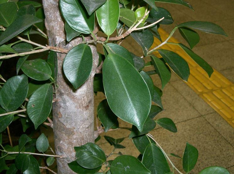 Foglie Ficus Benjamin