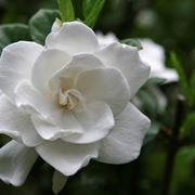 gardenia pianta da interno o esterno