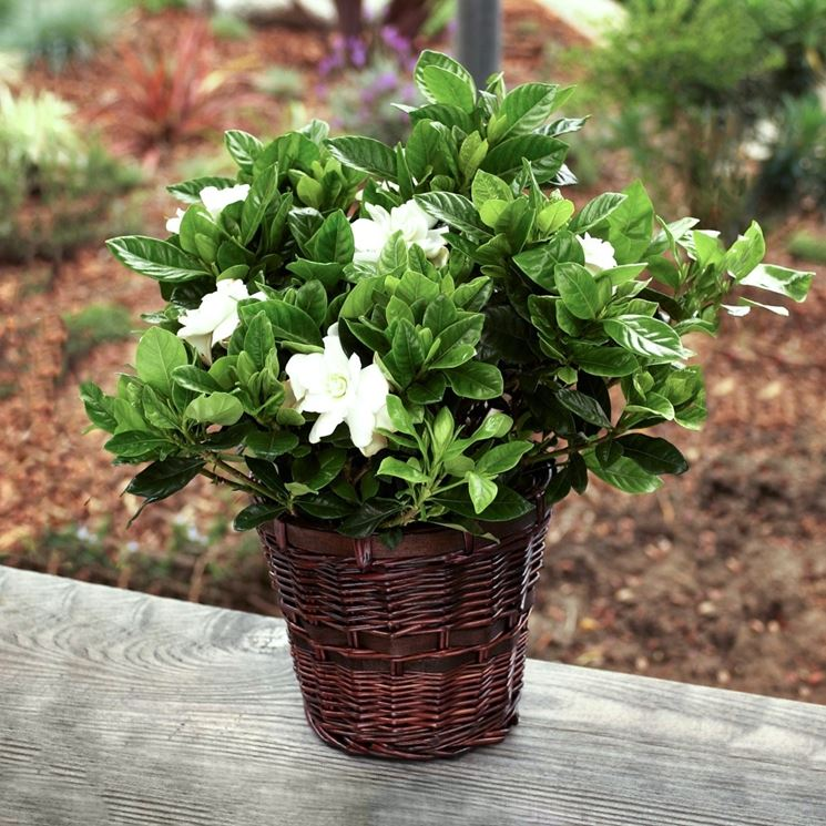 Caratteristici fiori della gardenia