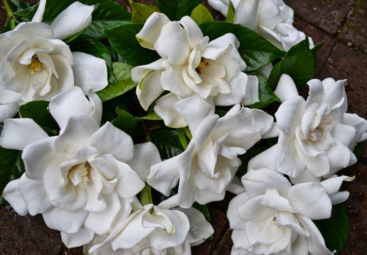 Fiore di gardenia curato