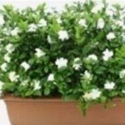gardenia pianta