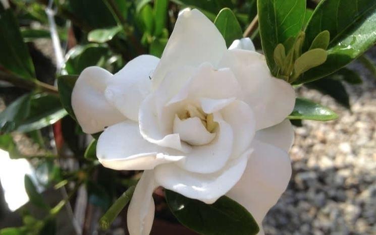 Gardenia jasminodes