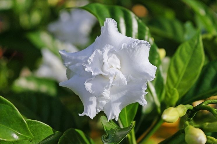 Annaffiare e curare la Gardenia