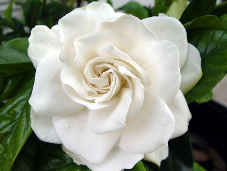 Concimare la gardenia
