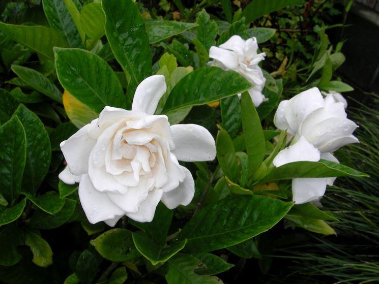 Gardenie piante da interno gardenie caratteristiche - Gardenia pianta da giardino ...
