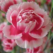 Pianta garofano rosa