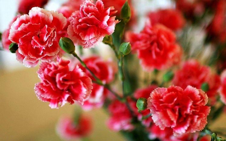 Piante garofani fiore
