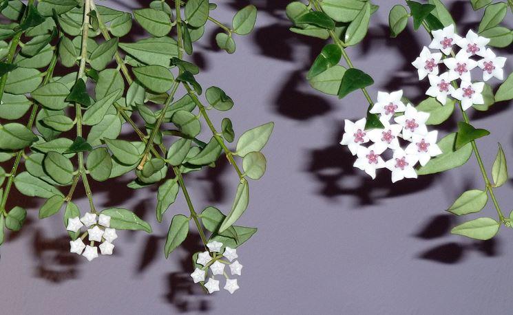 fiori hoya bella