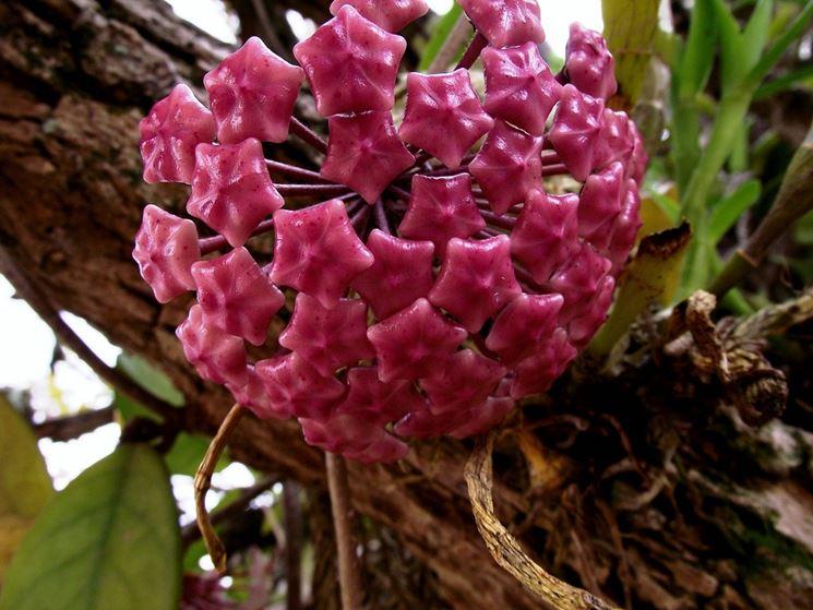 Hoya carnosa piante da interno fiore di cera for Pianta di cera