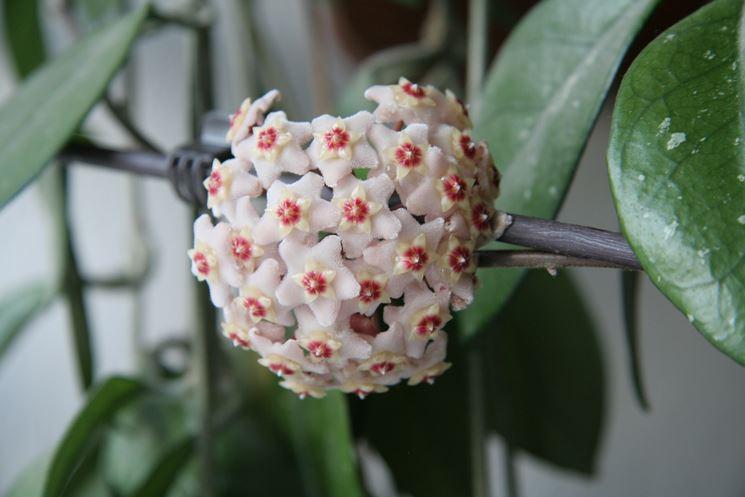 Hoya fioritura