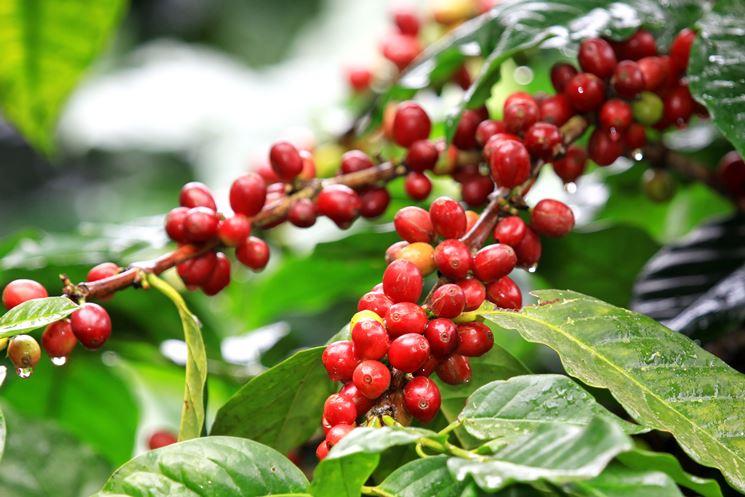 semi caffè