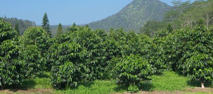 caffè piantagioni