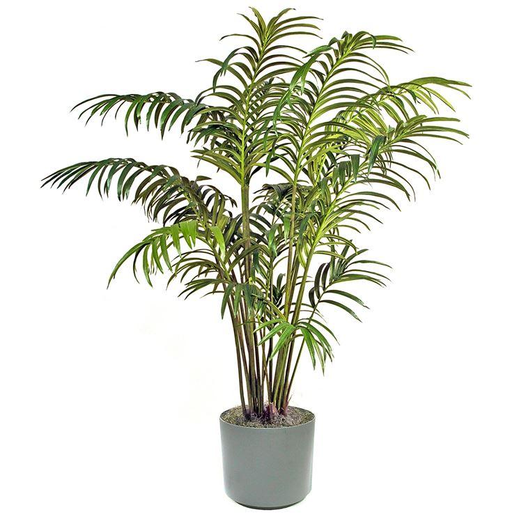 pianta di kenzia