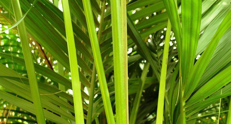 Kenzia piante da interno coltivazione kenzia for Kenzia esterno