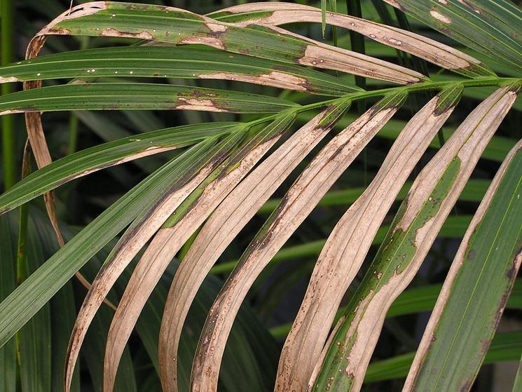 Kenzia ingiallimento foglie