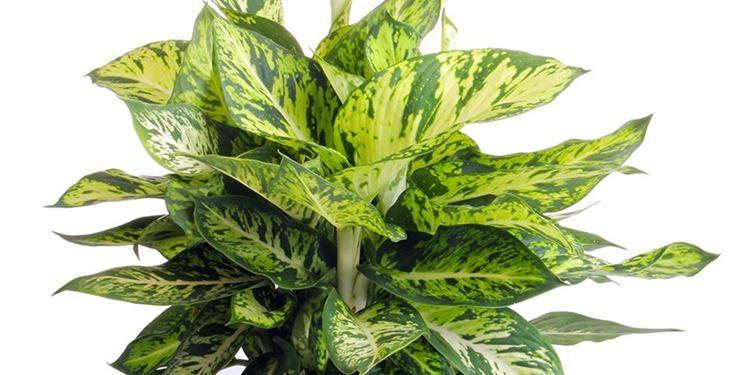pianta dieffenbachia