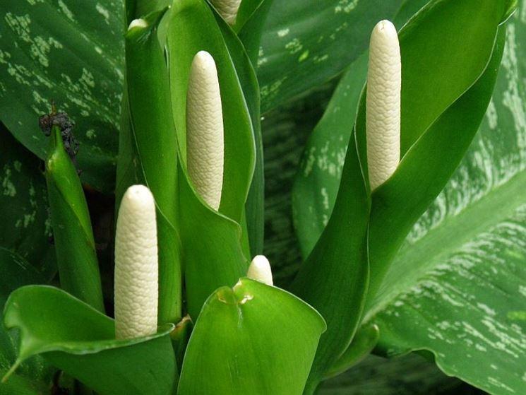 Dieffenbachia fiorita