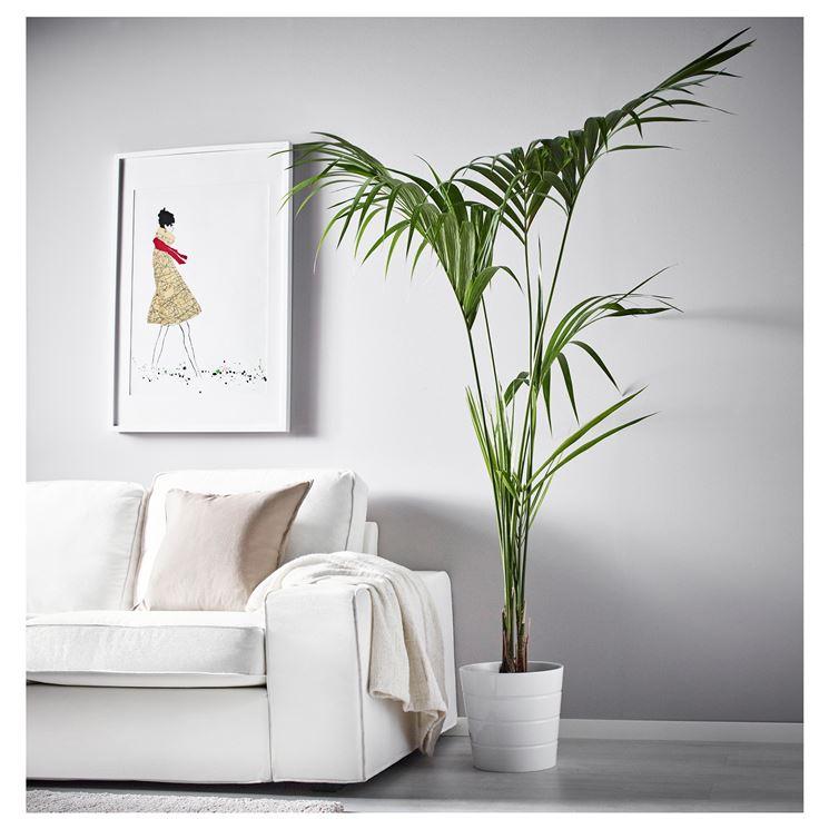 La pianta Kentia