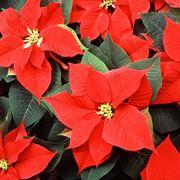Brattee e fiori di stella di Natale
