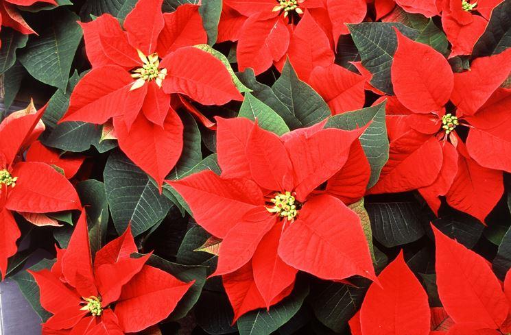 Annaffiatura Stella Di Natale.La Stella Di Natale Piante Da Interno Coltivare La Stella Di Natale