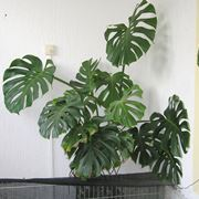 Monstera appartamento