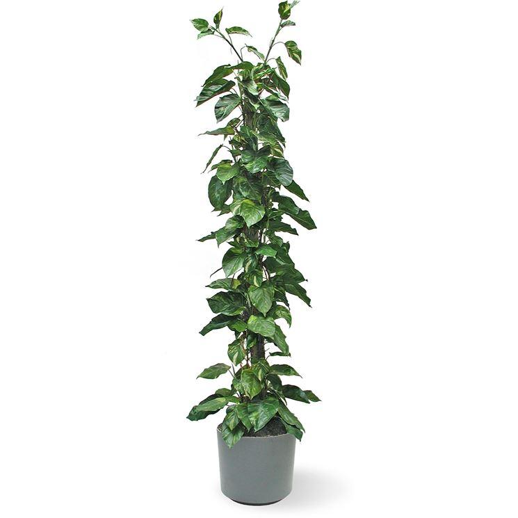 Pothos piante da interno potos da appartamento - Piante da interno poca luce ...