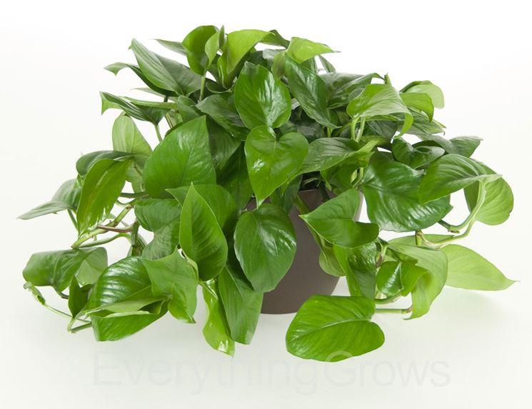 pianta di pothos