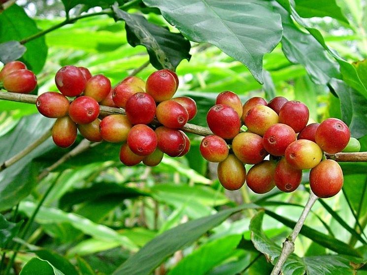pianta del caff piante da interno coltivare pianta