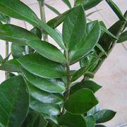 Elenco aggiornato sulle migliori piante da interno - Gardenia pianta da interno o esterno ...
