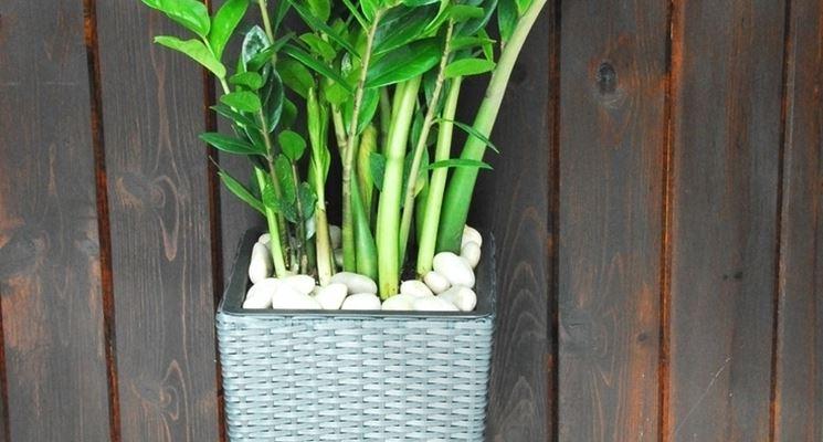 Pianta di Zamioculcas coltivata in vaso.