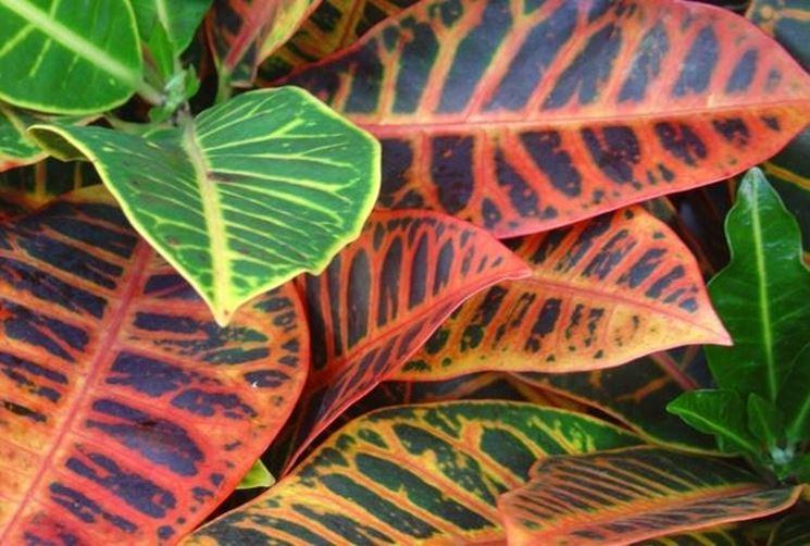 Un varietà della pianta di Croton